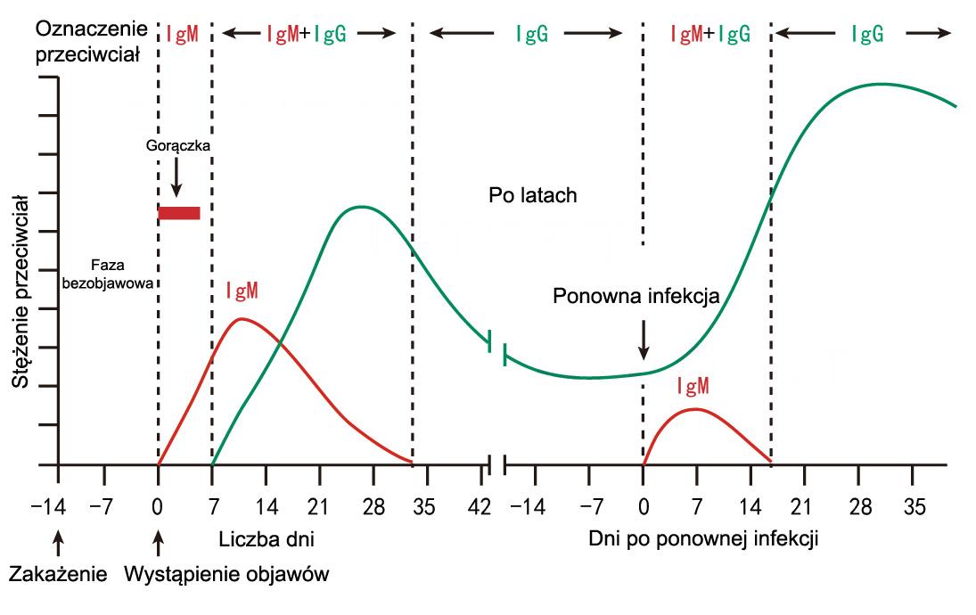 Wykres produkcji przeciwciał IgG IgM koronawirus SARS-CoV-2