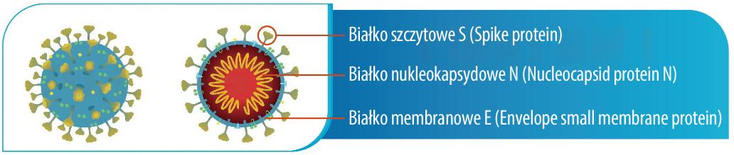 Budowa koronawirusa - antygeny
